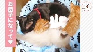子猫たちがむぎゅっと密着して、パパのベッドでスヤスヤ😽💤 幸せそうな様子に…ほっこり🎶【PECO TV】