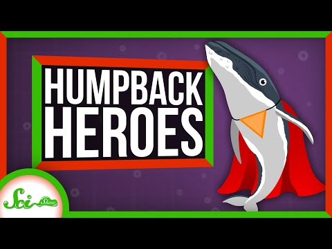 Humpbacks Might Be the Superheroes of the Sea