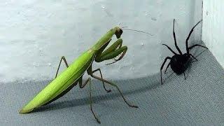 Black Widow vs Praying Mantis Spiders infest my house