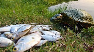 Turtles Love Fresh Shad!