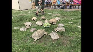 Animal Adventures with Jordan: African Spur Thigh Tortoise