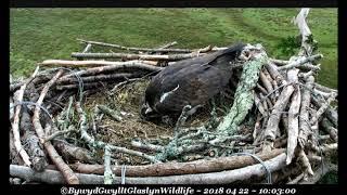 MrsG lays second egg @ 10:02hr, n-one notices ~ ©Bywyd Gwyllt Glaslyn Wildlife
