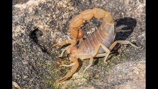 Free Handling a DEADLY Scorpion!