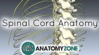Spinal Cord - External 3D Anatomy