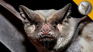 Catching Bats by Hand! - The Mexican Free Tailed Bat