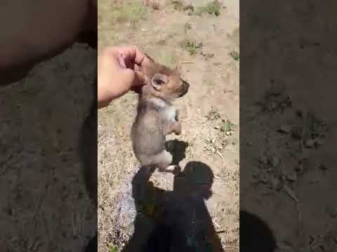 El momento en que el policía libera una de las crías de zorro