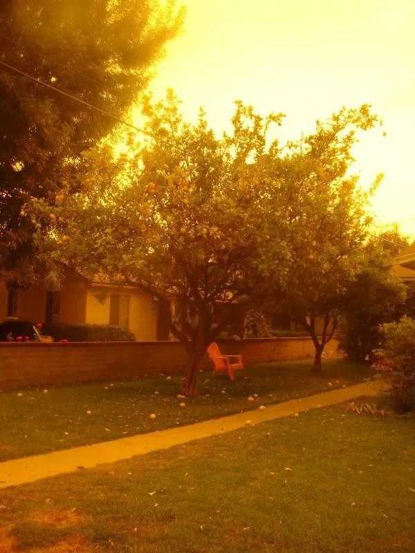 neighbour's lemon tree