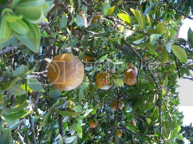 Chinotto, a.k.a. Citrus myrtifolia, the myrtle-leaved orange tree