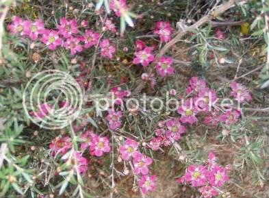 Leptospermum Merinda med