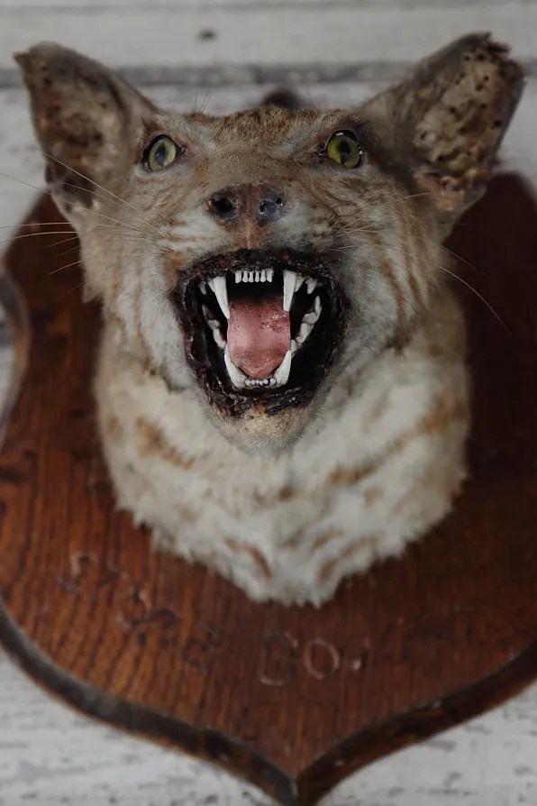 Taxidermy Feline at Mean-Eyed Cat Austin