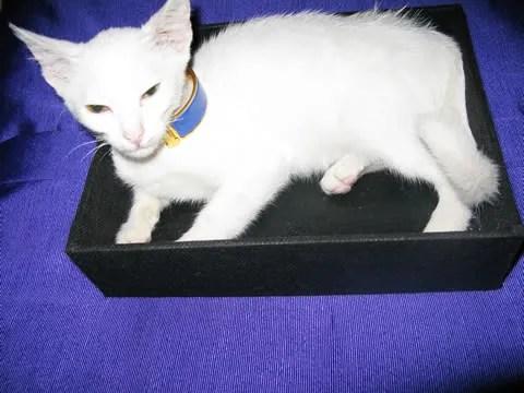 tanya the white kitten
