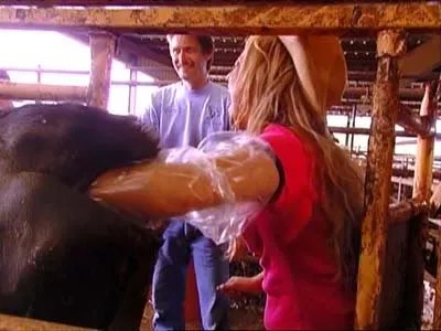 Nicole Richie with her hand up a cow's ass, The Simple Life 1