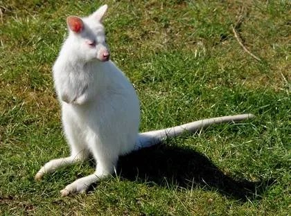White roo