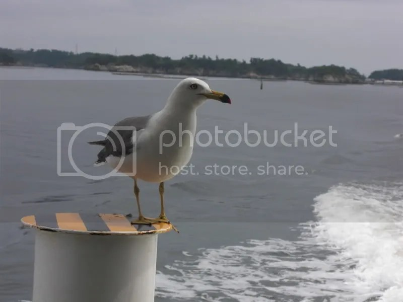 This seagull stayed put through out the boat trip when the other seagulls flew away after the prawn crackers were finished. I wanted to call it skipper.