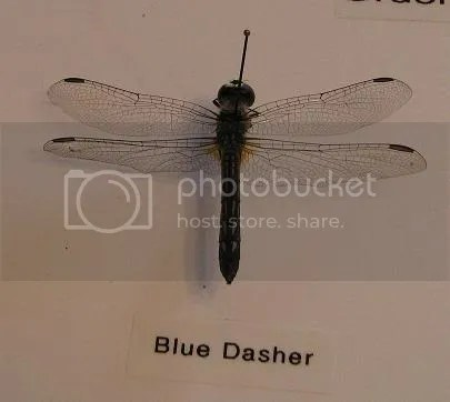 insects,dragonfly