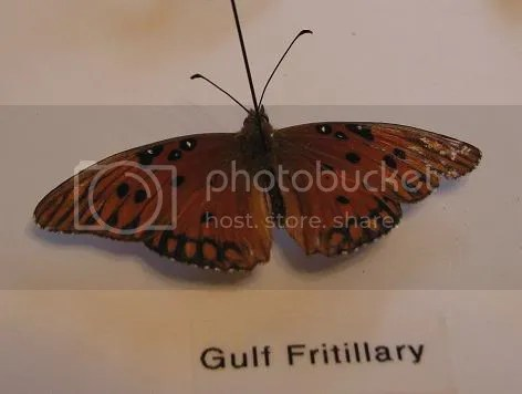 insect,butterfly