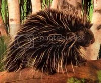 porcupine Pictures, Images and Photos