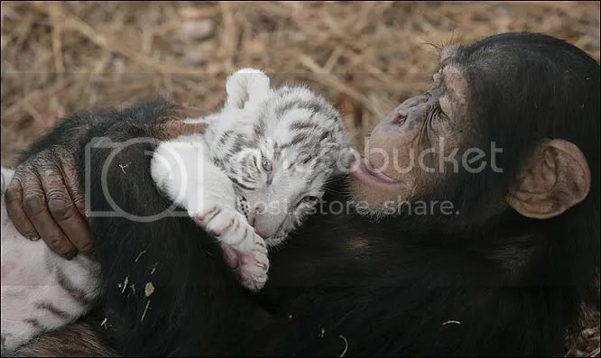 Chimp and White Tiger Friends