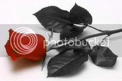La rosa, una de las flores mas populares del mundo por su belleza.