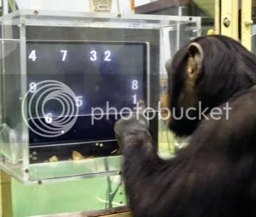 Chimpancés vencen a humanos en pruebas de memoria