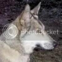 Wolfhondengedrag