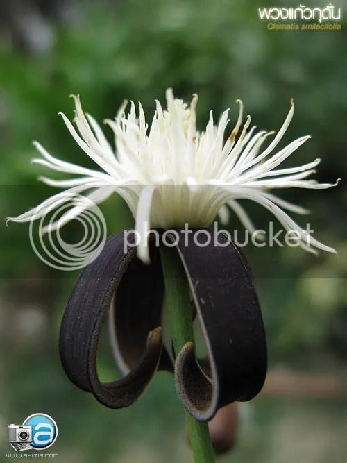 พวงแก้วกุดั่น, Clematis smilacifolia, เครือจางหลวง, ไม้เถา, ไม้เลื้อย, ต้นไม้, ดอกไม้้
