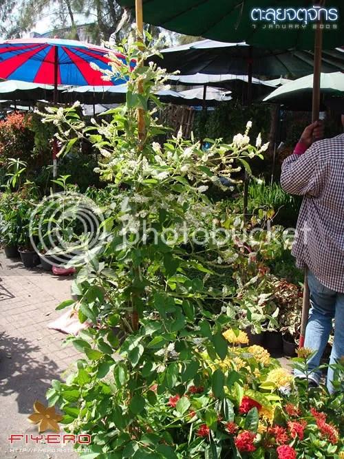 จตุจักร, ตลาดต้นไม้, ตลาดนัด, ต้นไม้, ดอกไม้, ตลาด, พุธ, พฤหัส, ราคาต้นไม้, ซื้อต้นไม้