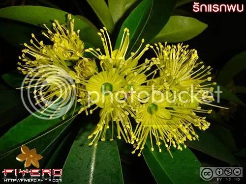 รักแรกพบ, ต้นรักแรกพบ, ดอกรักแรกพบ, การดูแล, expo gold, ต้น first love, golden penda, xanthostemon chrysanthus, ต้นไม้, ดอกไม้