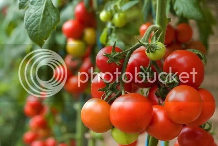 Cara Memutihkan Badan Secara Alami Dan Tradisional Dengan Buah Tomat
