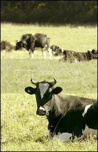 Zinniker farm cows. Augusta Chronicle photo.