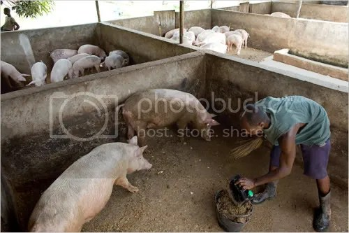 Separate subsidies mined by Smithfield helped support the export of cheap pork scraps from Poland to Africa, where some hog farmers also are giving up their farms, saying they are unable to compete with Smithfield. At left, Donald Yao, 32, cleaned a stall on his pig farm in Cote dIvoire. Yaos farm has been struggling to survive for the past few years due to the growing market of frozen pig parts being imported from Europe by agriculture firms like Smithfield. NY Times photo by Jane Hahn.