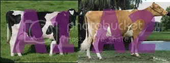 How now, brown cow? Holstein (left) is typically A1, while Guernsey (right) is typically A2.