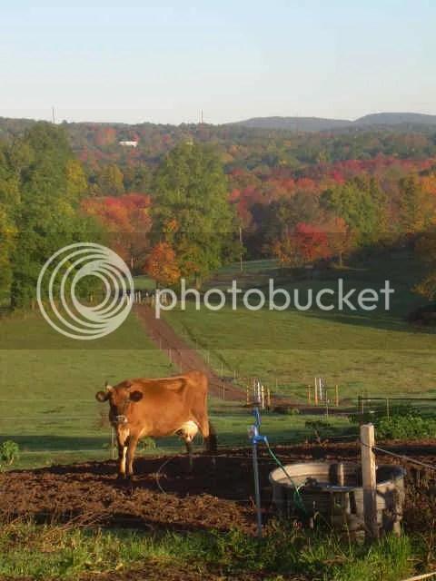 Jersey cow at Deerfield Farm