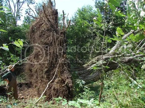 Uprooted tree. Thats Michael Schmidt standing beside it to give some idea of scale.