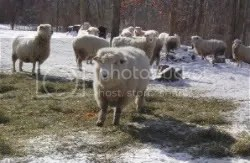 Manna sheep in happier days