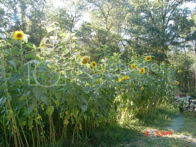 10-14 foot sunflowers