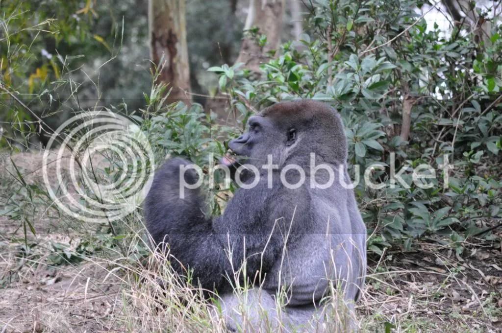Gorilla noms