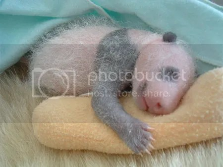 panda comel
