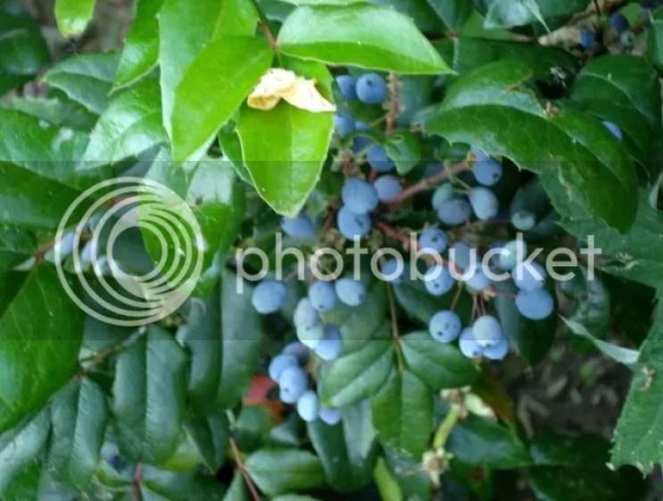 Make Winter Flowering Mahonia a New Years Resolution