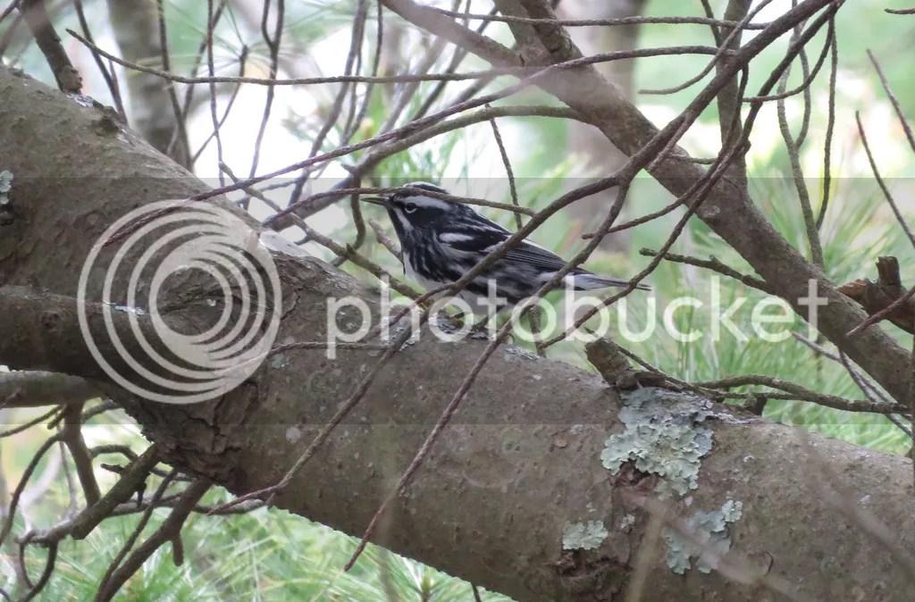 Black-and-white Warbler by James Zainaldin - La Paz Group