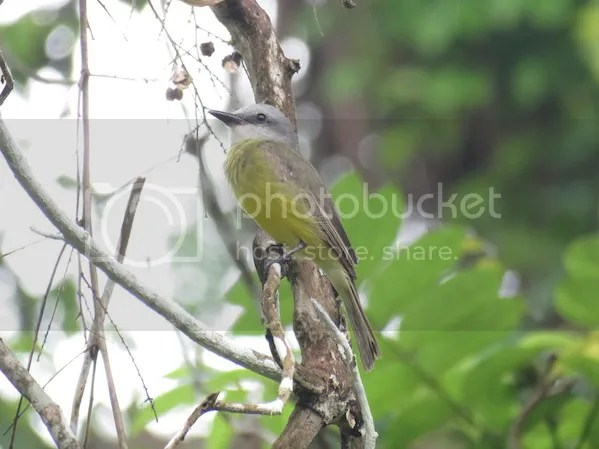 Tropical Kingbird by Seth Inman - La Paz Group