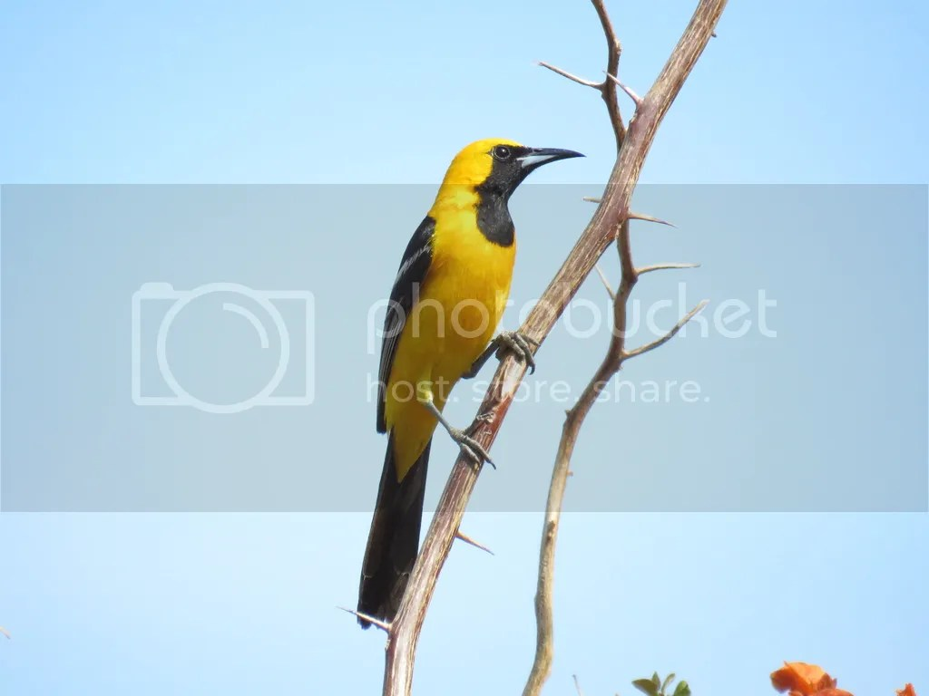 Hooded Oriole by Seth Inman - La Paz Group