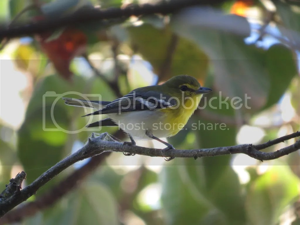 Yellow-throated Vireo by Seth Inman - La Paz Group