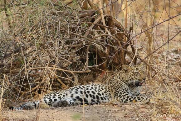 Leopard6OctHadley5.161709.jpg