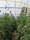 NEW HYDROPONICS TUNNEL FOR THE GAUTENG BRANCH