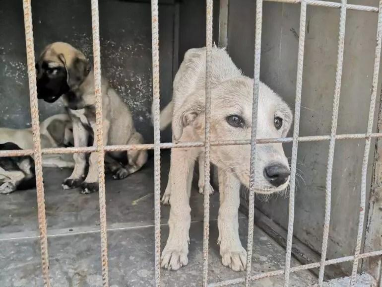 Vicdansızlık 60 yavru köpeği ölüme terk ettiler...24ü yolda ezilerek can verdi