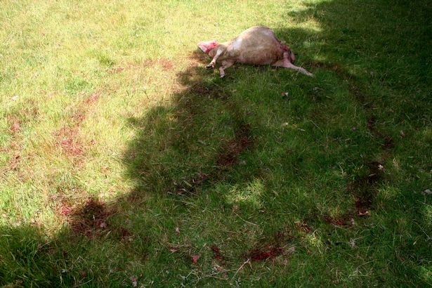 A rare sheep has been slaughtered in a suspected Satanic ritual coinciding with the Summer Solstice in the remote Teign Valley on Dartmoor in Devon