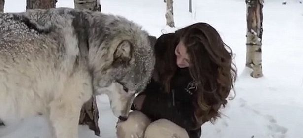 Heartwarming moment Kekoa the giant timber wolf plays with wildlife worker
