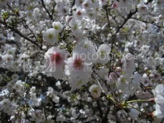 Prunus blooms