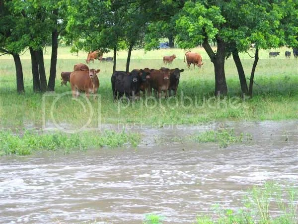 Some heifers wanting to cross the creek.